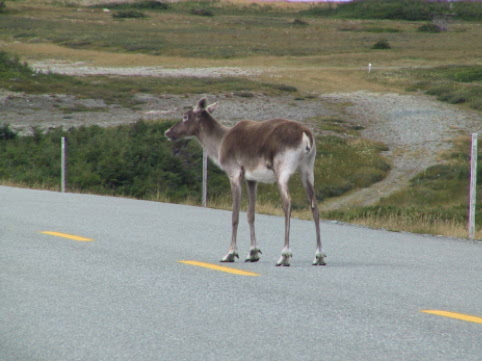 Leg 5 may have some Caribou spectators from the Southern Avalon herd